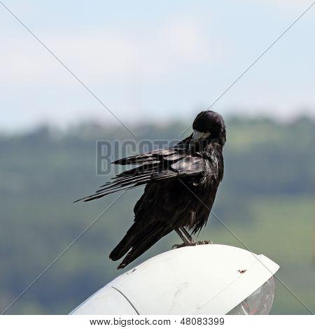 Corvus Frugilegus Scratching Itself
