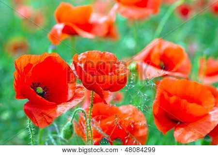 Blossom poppy flowers on the meadow