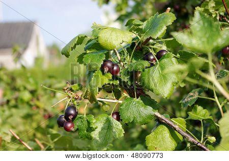 Jostaberry bush (Ribes x nidigrolaria)