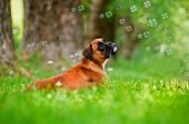 german boxer dog looking at soap bubbles poster