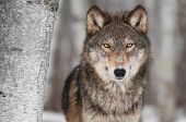 Grey Wolf (Canis lupus) Next to Birch Tree - captive animal poster