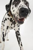 Closeup of a Dalmatian standing against white background poster