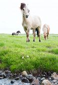 Wild Icelandic horses beautiful animals in green pasture low point of view this horse breed only lives in Iceland poster