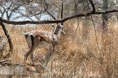 Grant's gazelle roaming in the savannah grasslands of Abijatta-Shalla National Park in Ethiopia poster