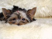 Puppy yorkshire terrier lies and is sad poster