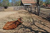 Jersey cow in foreground of old barn and a farm house in West Texas. Surrounded by split-rail fence. poster