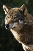 Alert grey wolf standing and staring in the sun on winter morning poster