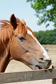 Portrait of a young chestnut horse crib biting on a wooden fence poster