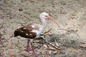 Young white ibis standing on sandy beach. poster