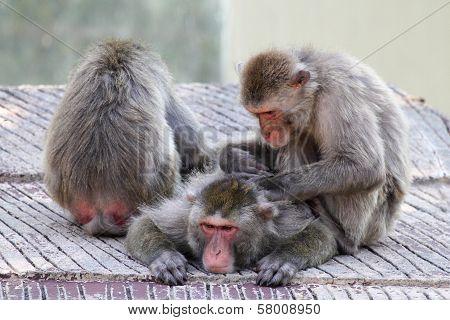 Group Of Snow Monkeys Grooming