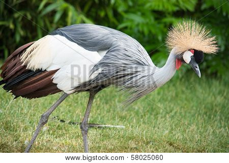 The Grey Crowned Crane (Balearica regulorum) is a bird in the crane family Gruidae.
