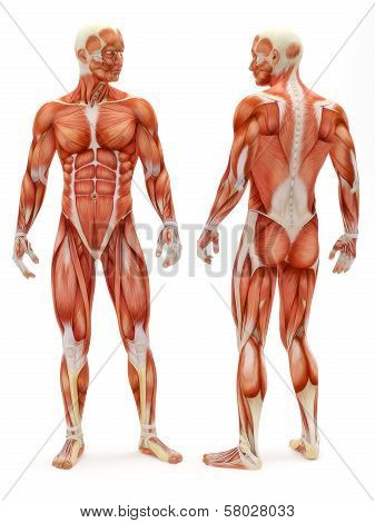 Male musculoskeletal system front and back