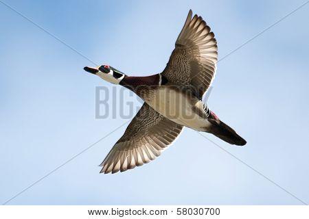Male Wood Duck In Flight In Soft Focus