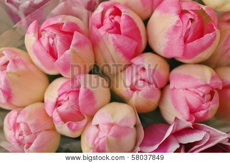 Bunch Of Pink Spring Tulips