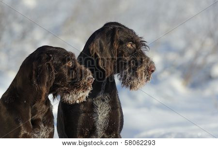 Two Brown Dogs Portrait Against The Snow, Horizontal