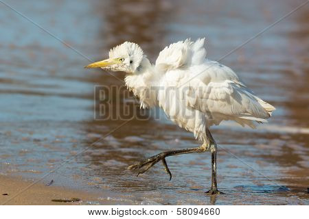 A Wild Looking Cattle Egret On The Beach