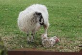 An adult ewe with two of her lambs. poster