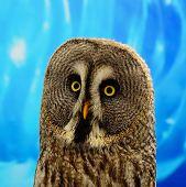 Closeup Great Grey Owl (Strix nebulosa), face profile poster