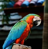 Colorful Harlequin Macaw aviary, standing on the log, side profile poster