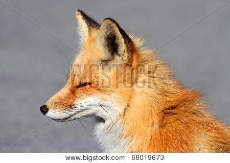 Red Fox (vulpes) Close-up