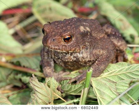 Gray toad (Bufo bufo) among mown grass. poster