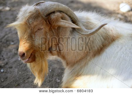 Goat portrait redhead and white wool colors nature poster