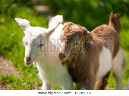 Cute Baby Goats Playing
