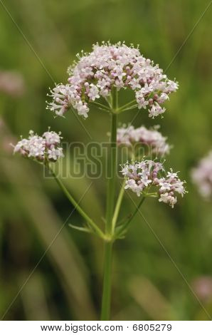 Common Valerian - Valeriana officinalis