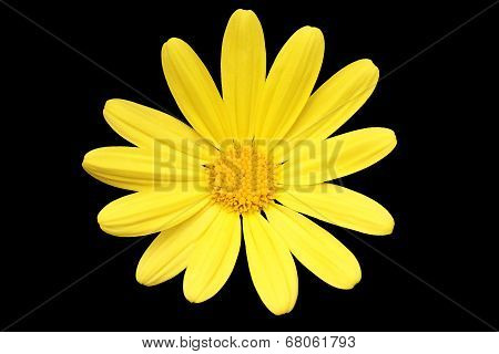 Yellow Daisy On Black Background