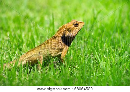 lizard strolling in the grass poster