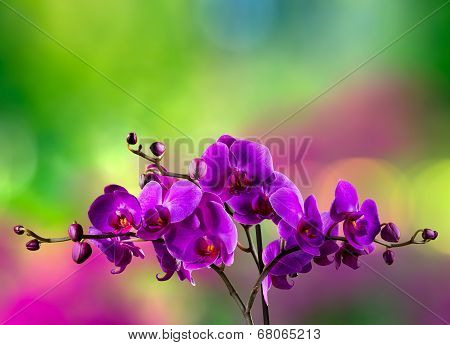 Fuchsia Orchid Flower On Blur Background
