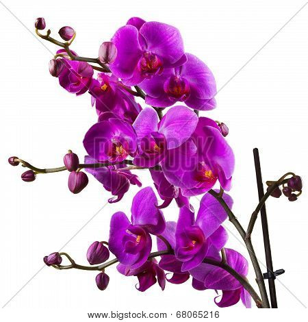 Purple Orchid Flower On White Background