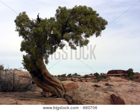 Lonely Pinon tree on wind swept desert rock poster