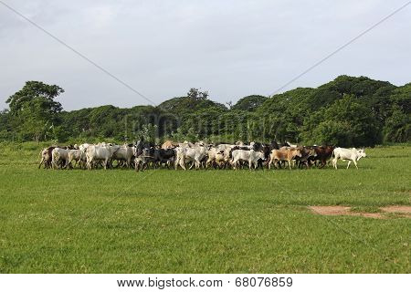 Afrikan Cattle Between Green Palms