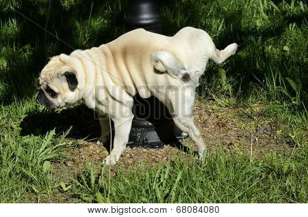 Purebred Pug Pees On A Pillar