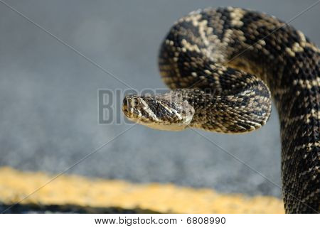 A large eastern diamondback rattlesnake in a strike position on the road. poster