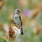 goldfinch in natural habitat (carduelis carduelis) - juvenile poster