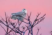 Snowy Owl (Bubo scandiacus) perched in a tree with a setting sun poster