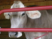 A Jersey calf looks wistfully through the red gate of the barn where she is sheltered. poster