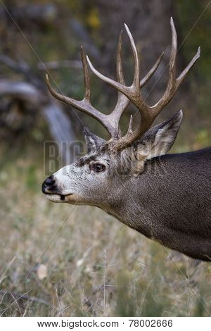 Adult Male Mule Deer