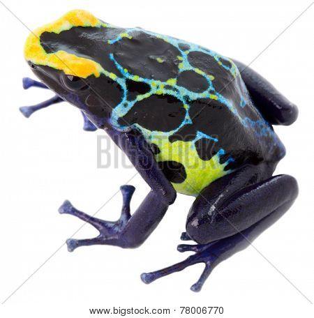 poison frog dendrobates tinctorius on white