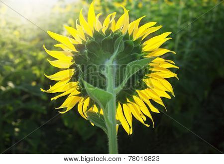 Close Up Of Rear Veiw Sunflowers Blooming Against Morining Light In Plantation Field