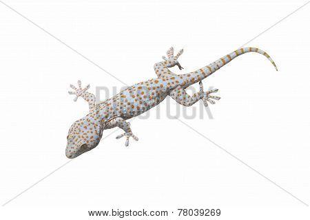 Tokay Gecko Isolated.
