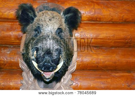 Closeup Stuffed Wild Boar Head With Big Fangs Hanging On Wooden Wall Log