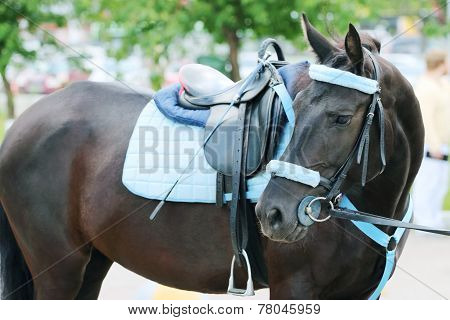 Horse With Blue Harness With Saddle Stands On Street Turning His Head