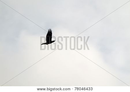 Black Silhouette Of Crow Flying In Sky In Cloudy Overcast Day