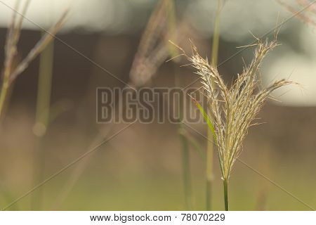 Back lit Abstract Closeup Lalang grass flower with dark orange wall background