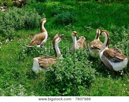 A Flock Of Domestic Geese