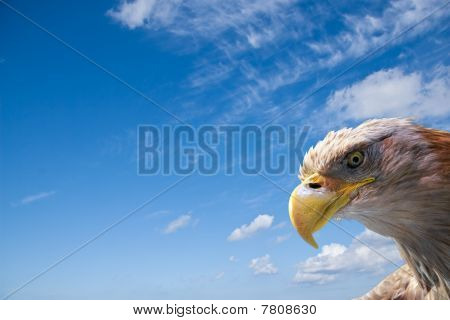 Wild Bald Eagle With Room For Text