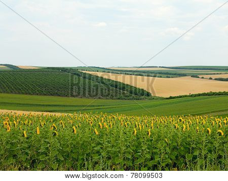 Agricultural Landscape - Wheatfield, Sunflower And Gardens